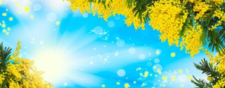 Beautiful fluffy mimosa flowers panorama background. Blooming spring mimosa tree nature over blue sky and sun. Greeting card template. Shallow depth.