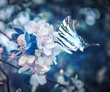 Beautiful sakura flower cherry blossom and butterfly fluttering over close-up. Greeting card background template. Shallow depth. Soft dark blue toned. Spring magic nature.