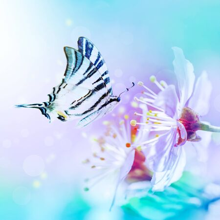 Beautiful cherry sakura flowers close-up on gentle soft blue and pink background with fluttering butterfly over sky. Greeting card floral template. Soft toned. Shallow depth. Spring nature. Stock Photo