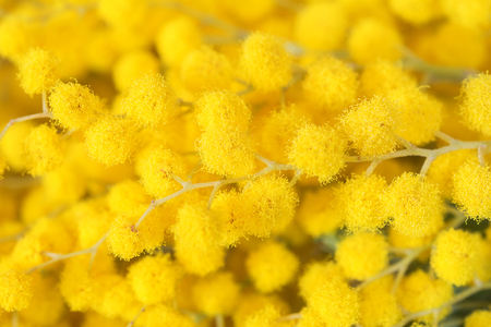 Beautiful mimosa yellow flower blossom. Greeting card template. Shallow depth. Copy space. Spring nature.