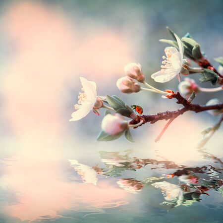 Beautiful sakura flower cherry blossom and ladybug water reflection. Greeting card background template. Shallow depth. Soft vintage toned. Spring nature.