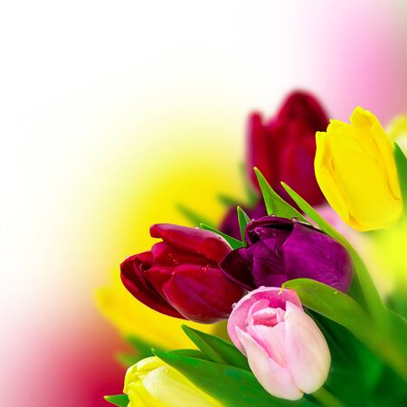 Beautiful tulip pink, red, purple, yellow flower bouquet square background. Greeting card template. Spring narture. Soft toned.