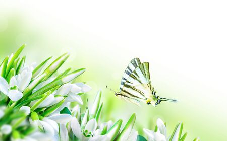 Beautiful snowdrops flower blossom and butterfly on white background. Spring nature. Greeting card template. Soft toned. Stock Photo