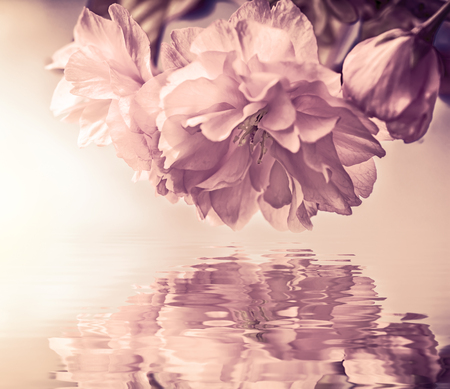Beautiful sakura flower cherry blossom macro, water reflection, sun light. Greeting card background template. Shallow depth. Soft pastel toned. Spring nature. Faded colors.