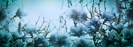 Beautiful blossoming magnolia flowers in sundawn light backlit, shallow depth. Soft dark blue vintage toned. Greeting card banner template. Nature panorama background. Copy space. Stock Photo