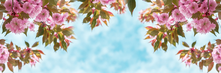 Sakura flower cherry blossom closeup over the sky panoramic. Greeting card template. Shallow depth. Soft toned. Spring nature background. Stock Photo