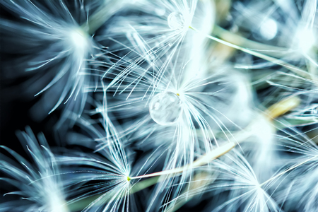 Beautiful dandelion seeds macro with water drop. Dark and Soft light blue background. Abstract artistic image template. Copy space. Spring nature.