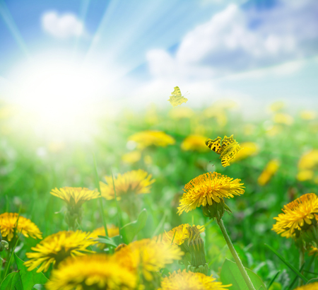 Field with dandelions flowers, butterflies and sun in blue sky landscape. Greeting card template. Shallow depth. Soft toned. Spring nature background. 免版税图像
