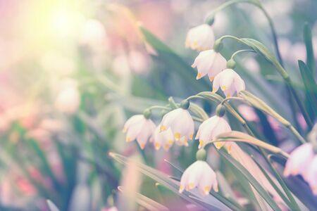 美丽的春天狂放的雪花在森林里开花leucjum vernum,在太阳光,宏指令。软的焦点自然背景。精致的柔和色调的图像。贺卡模板。自然花卉春天。复制空间。