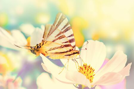 Dreamy cosmos flowers, butterfly against sunlight. Macro with soft focus. Pastel vintage toned. Delicate transparent airy elegant artistic image of spring. Nature greeting card background. 版權商用圖片