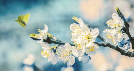 Beautiful blossoming cherry tree, flying butterfly on retro blue background in sunlight, shallow depth. Vintage toned. Greeting card template. Nature springtime sakura flower panorama. Copy space banner.