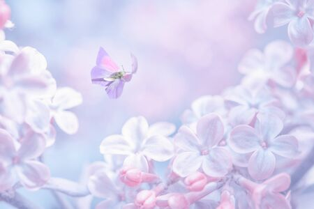 Beautiful spring purple lilac flowers blossom branch background with butterfly in sun light, macro. Soft focus nature background. Delicate pastel toned image. Greeting card template. Nature closeup floral springtime. Copy space.