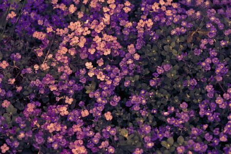 Aubrieta deltoidea or Aubretia flowers pink and purple background closeup. Top view. Soft focus nature texture. Copy space. Spring floral greeting card template. Delicate delightful romantic artistic toned image.