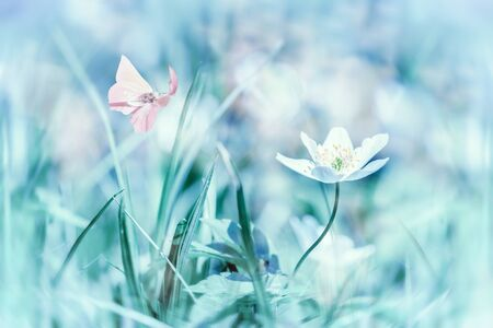 Dreamy white spring anemone flower bloom, grass, butterfly closeup. Spring floral greeting card template. Delicate delightful romantic artistic toned image. Pastel blue toned. Macro with soft focus. Nature greeting card background. 版權商用圖片