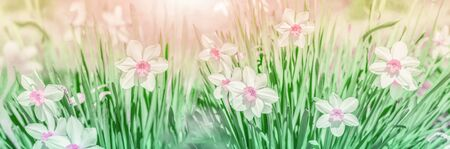 Dreamy spring narcissus flower bloom, close-up against sunlight panorama. Spring floral greeting card template. Delicate delightful romantic artistic toned image. Pastel golden toned. Macro with soft focus. Nature greeting card background.