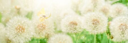 Dreamy dandelions blowball flowers, seeds fly in the wind and butterfly against sunlight. Pastel golden toned. Macro with soft focus. Delicate transparent airy elegant artistic image of spring. Nature greeting card panoramic background.