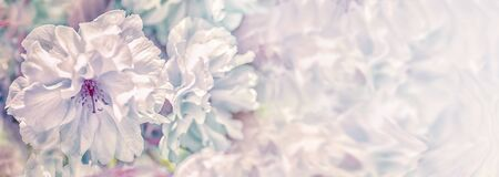 Beautiful sakura flower cherry blossom panorama background. Soft focus. Greeting gift card template. Pastel vintage toned image. Nature panoramic abstract. Copy space. Shallow depth. 版權商用圖片