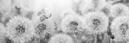 Dreamy dandelions blowball flowers, seeds fly in the wind and butterfly against sunlight. Vintage black and white toned. Macro with soft focus. Delicate transparent airy elegant artistic image of spring. Nature greeting card panoramic background.