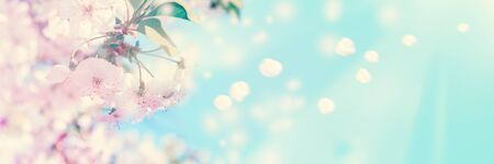 Beautiful blossoming cherry tree on light blue sky background in sunlight, shallow depth. Soft pastel toned. Greeting card template. Nature springtime sakura flower panorama with flying petals. Copy space banner.