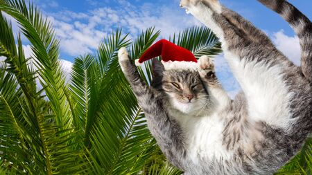 Flying or jumping funny tabby santa cat in red hat on vacation paradise palm tree background. Christmas panoramic greeting card, copy space. Holiday relaxation template. 版權商用圖片