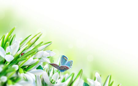 Beautiful snowdrops flower blossom, ladybug, butterfly close-up on white panorama background. Spring floral nature greeting card template. Delicate delightful romantic artistic toned image. Macro with soft focus. 版權商用圖片