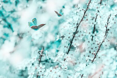Beautiful cherry flowers blossom tree, butterfly, dreamy light closeup. Spring floral greeting card template. Delicate delightful romantic artistic toned image. Pastel blue and pink toned. Macro with soft focus. Nature greeting card background. 版權商用圖片
