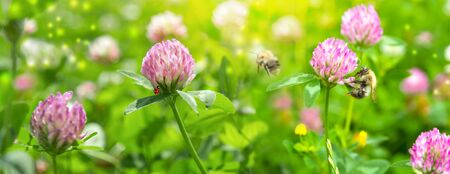 Beautiful spring wild meadow clover flowers, pink and green colors in sun light with bee, ladybug, macro. Soft focus nature background. Delicate pastel toned image. Greeting card template. Nature floral springtime. Copy space. High key.