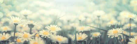 Daisy flower on wild field in sunset light panorama. Soft focus nature panoramic. Delicate pastel toned image. Greeting card template. Nature spring background. Copy space. 版權商用圖片