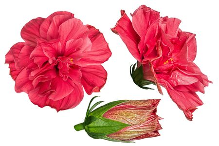 Set of red hibiscus flowers isolated on white background. Shallow depth. Soft toned. Floral summertime. Copy space. 版權商用圖片