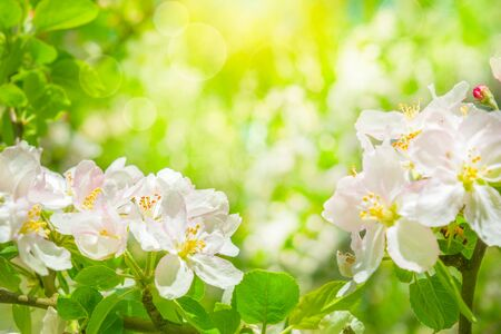 Blooming apple tree flowers, dreamy sunny