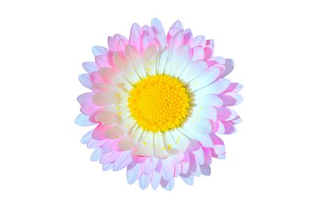 Beautiful single pink and blue daisy Bellis flower head isolated on white background closeup. Top view. Copy space.