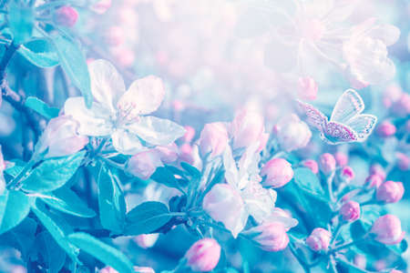 Blooming apple tree flowers, butterfly, dreamy sunny background. Soft focus. Greeting gift card template. Pastel pink and blue toned image.Spring delicate nature. Copy space. 版權商用圖片