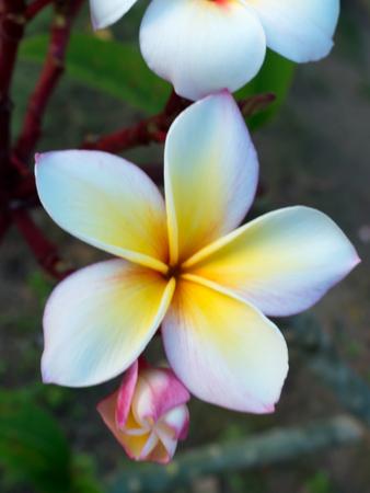 ciérrese encima de la flor hermosa del plumeria flores del