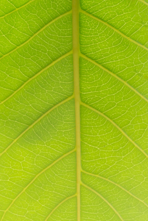 photgraphy: Abstract green leaf texture for background.Close up on green leaf texture,Wallpaper