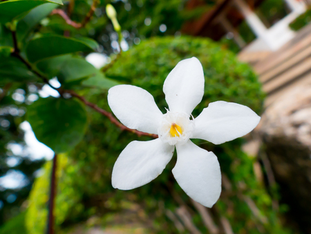 White flower bloom in summer on the garden natural background,Suitable for about the Love and in the wedding day design background,Soft focus and blurred 스톡 콘텐츠
