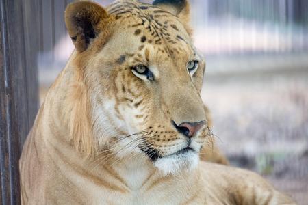 portrait of a lion Banque d'images