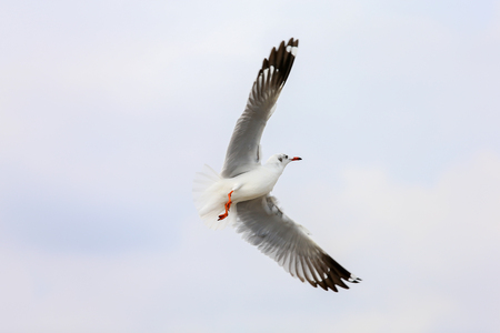 seagull in flight Standard-Bild