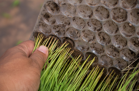 Close up of hand holding Rice seedlings.