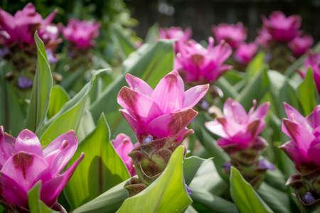 siam: siam tulip.