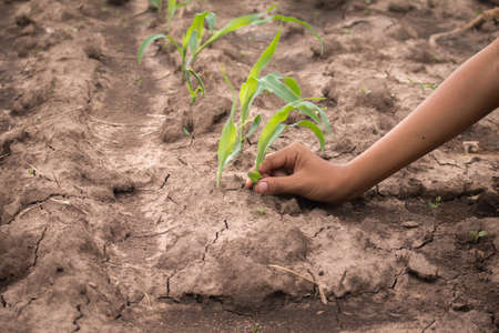 natural disaster: Hands protect young corn in corn field with dry ground.Concept of natural disaster.
