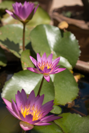 nymphaeaceae: close up Purple color fresh lotus blossom or water lily flower blooming on pond background, Nymphaeaceae