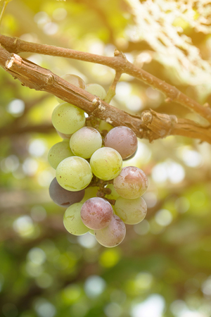 Close up of grapes with green leaves on the vine. Vine grape fruit plants outdoors. Stock Photo