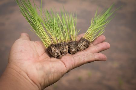 raices de plantas: Close up of hand holding Rice seedlings.