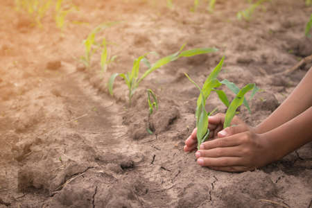 protect: Hands protect young corn in corn field with dry ground.Concept of natural disaster.
