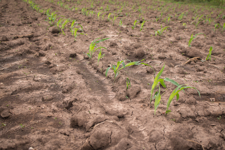 natural disaster: Young corn in corn field with dry ground.Concept of natural disaster.