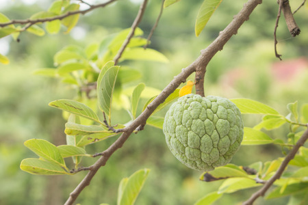 custard apples: Custard apples or Sugar apples or Annona squamosa Linn. growing on a tree in garden at Thailand