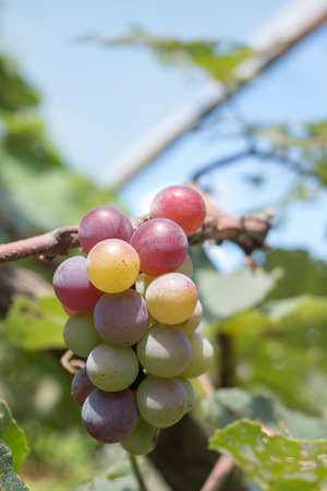 syrah: Close up of grapes with green leaves on the vine. Vine grape fruit plants outdoors. Stock Photo
