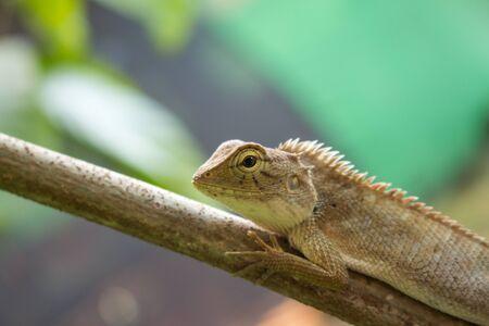 versicolor: Close up of Calotes versicolor Daudin, Red-headed Lizard or Indian Garden Lizard.