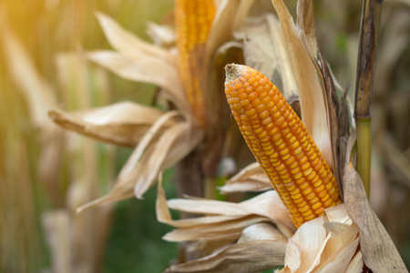 Closeup of dry corn cob ready for harvest. Stock Photo