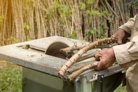 The Farmer is prepared Cassava for planting. Stock Photo